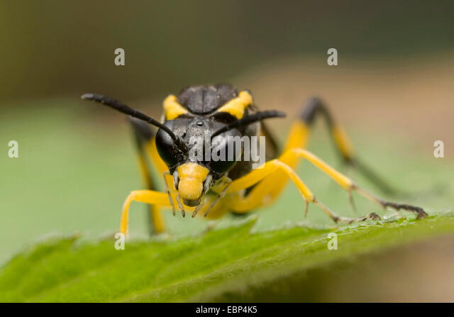 Sawfly (Macrophya montana), on a leaf, front view, Germany - Stock Image