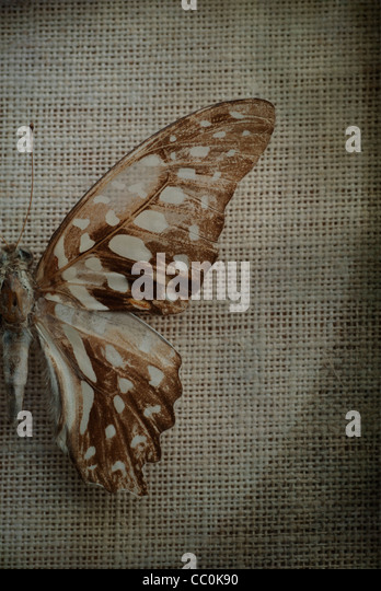 Detail of a dry butterfly wing - Stock-Bilder