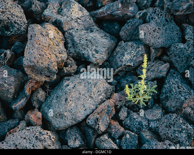 small green shoot volcanic rock Solidified lava fields Craters of the Moon National Monument Snake River Plain central - Stock Image