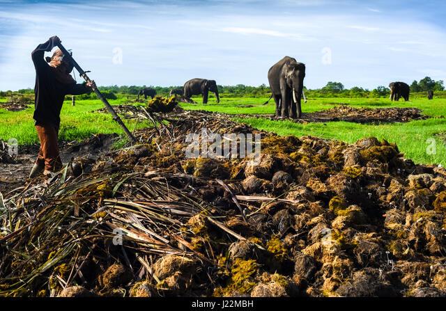 A worker cleaning up elephant dung in Way Kambas National Park, Sumatra, Indonesia. © Reynold Sumayku - Stock Image