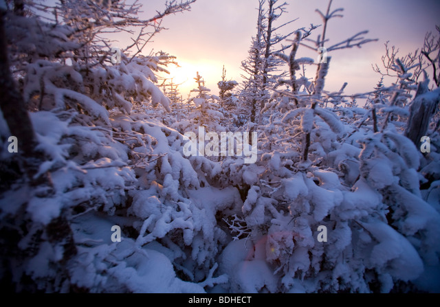 Evergreen stand at the edge of tree line on Mt. Madison at the north end of the Presidential Range in New Hampshire. - Stock Image