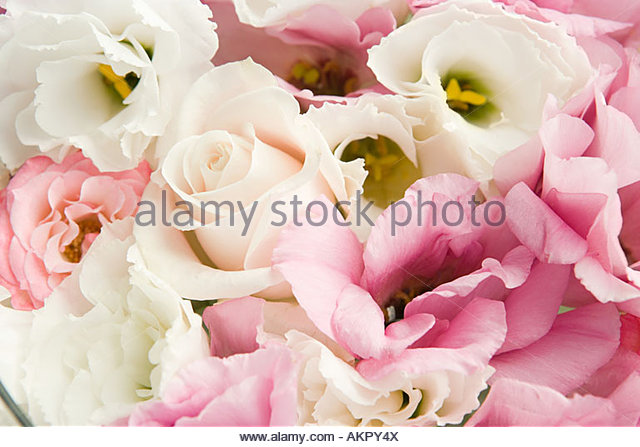 Close up of rose petals - Stock Image