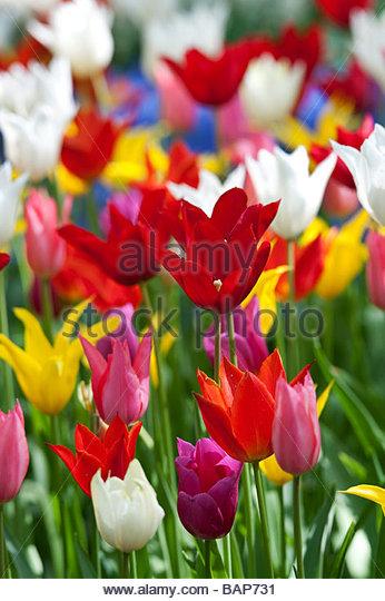 Tulip flowers at Keukenhof gardens, Lisse, Amsterdam, Holland - Stock Image