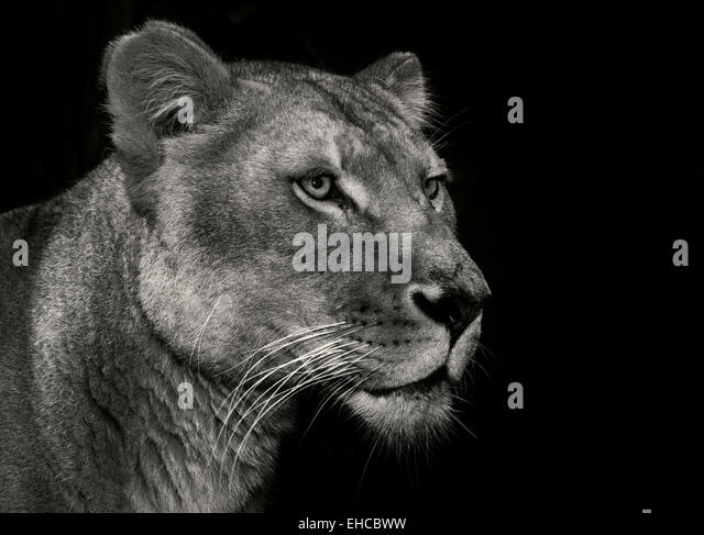 beautiful lions from africa - Stock Image
