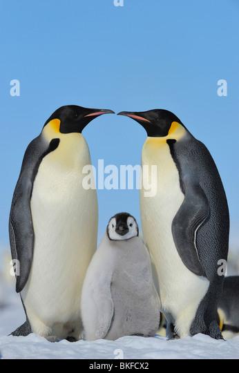 Emperor penguin (Aptenodytes forsteri), chick between two adults, Antarctica, Snow Hill Island - Stock Image