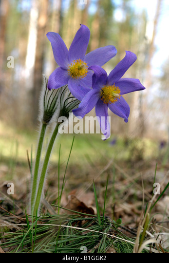 beautiful snowdrop flowers in the forest - Stock-Bilder
