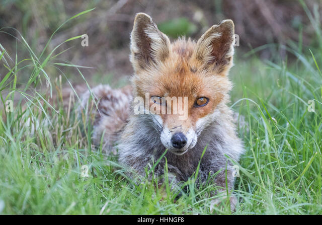 Red Fox ( Vulpes ) Close Up in Grass - Stock Image