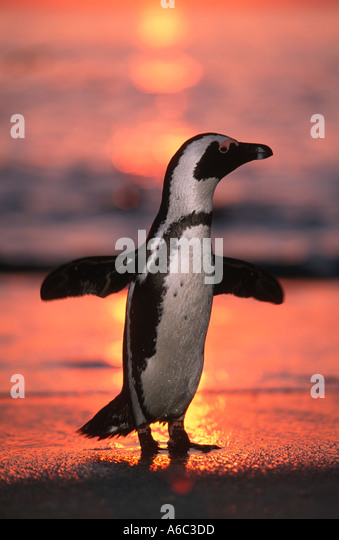 Jackass Penguin Spheniscus demersus At sunrise Endangered Cape Peninsula South Western African coast and islands - Stock Image