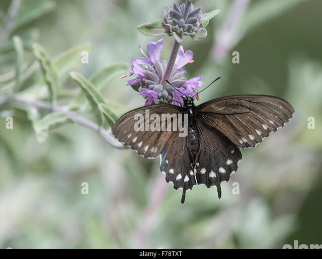 Pipevine Swallowtail Butterfly (Battos philenor) on Purple Flower - Stock Image