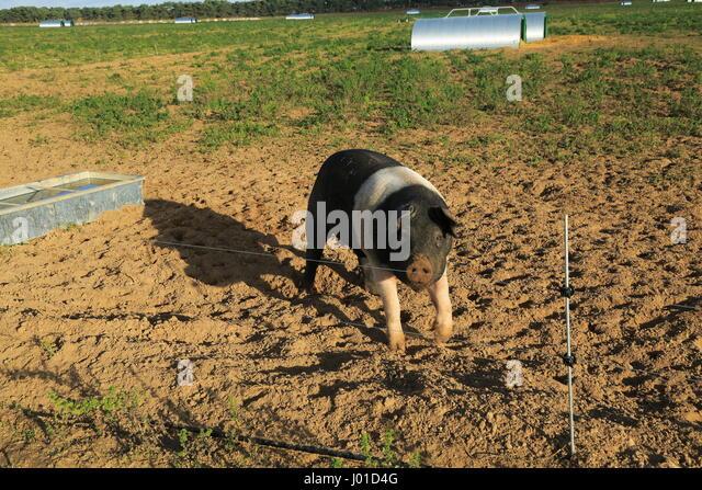 Saddleback Pigs Stock Photos Amp Saddleback Pigs Stock