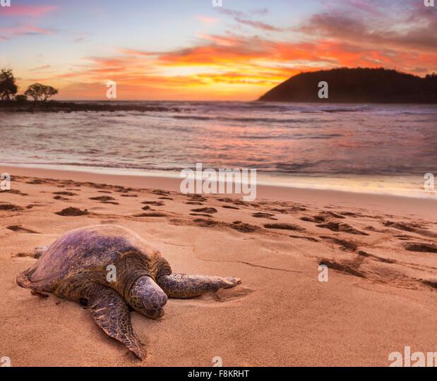 Green sea turtle - Chelonia mydas - on the sand at Moloa'a Beach on east coast of Kauai in Hawaii - Stock-Bilder