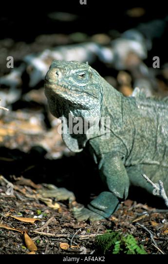 Turks and & Caicos rock iguana Little Water Island caribbean animal wildlife - Stock Image