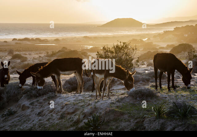 Wild donkeys at Golden Beach, Karpaz Peninsula, Northern Cyprus - Stock-Bilder