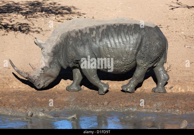 White rhino (Ceratotherium simum), Mkhuze game reserve, Kwazulu Natal, South Africa, Africa - Stock Image