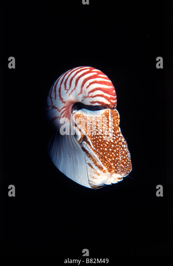 Nautilus Pompilus, underwater, at night, dive night, mollusk, Papua New Guinea, night dive, prehistoric, shell - Stock Image