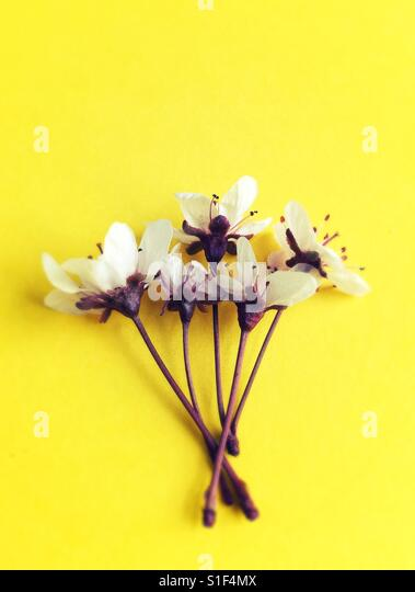 Cherry blossoms against a yellow background. - Stock Image