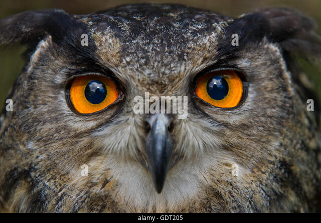 Stralsund, Germany. 20th July, 2016. An eagle owl seen at the zoo in Stralsund, Germany, 20 July 2016. The local - Stock Image