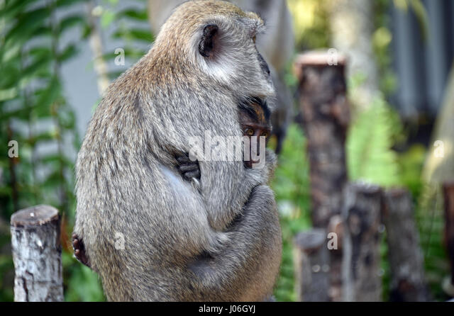 Long-tailed Macaque (Singapore) - Stock Image