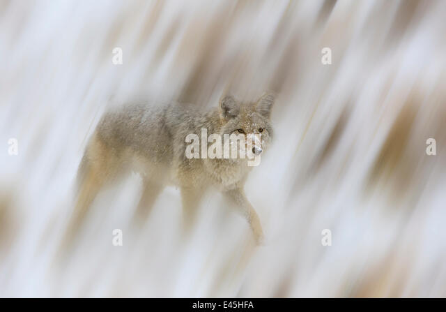 Coyote {Canis latrans} in snow, USA, September - Stock Image