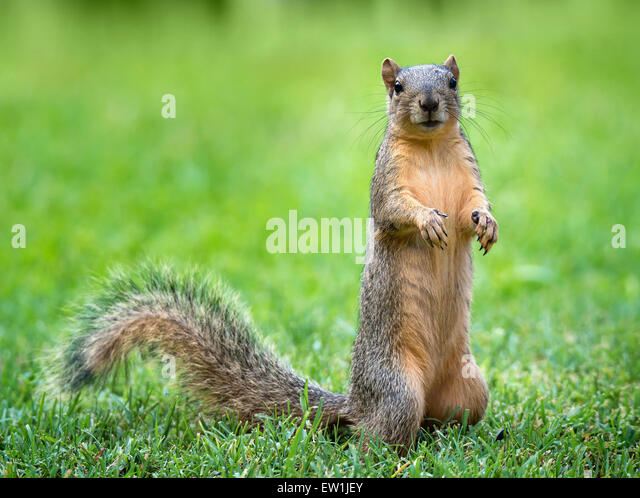 Young Eastern Fox squirrel (Sciurus niger) eating bird seeds in the garden - Stock Image