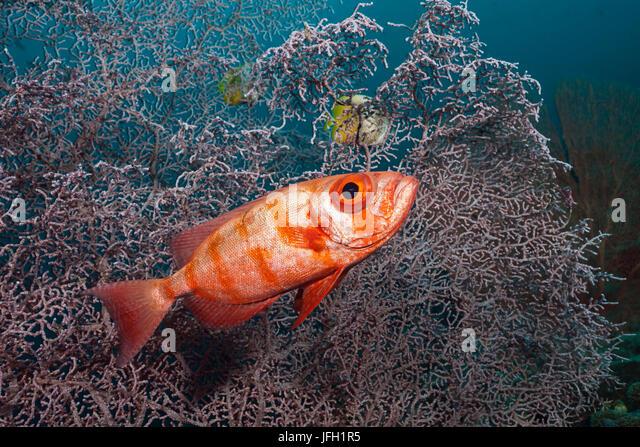 Reef-great eye, Priacanthus hamrur, Raja Ampat, west Papua, Indonesia - Stock Image