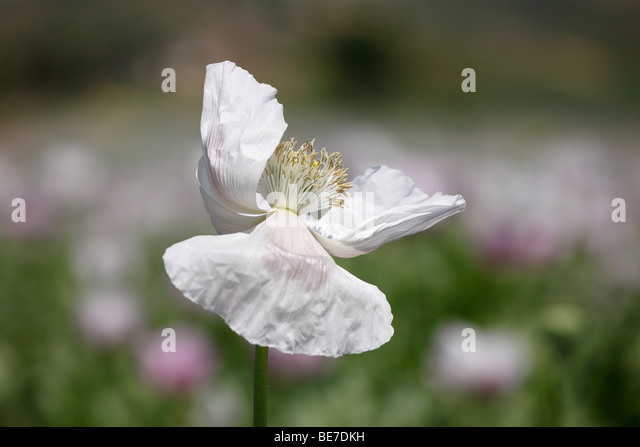 Bloom of an Opium Poppy (Papaver somniferum), Austria, Europe - Stock Image