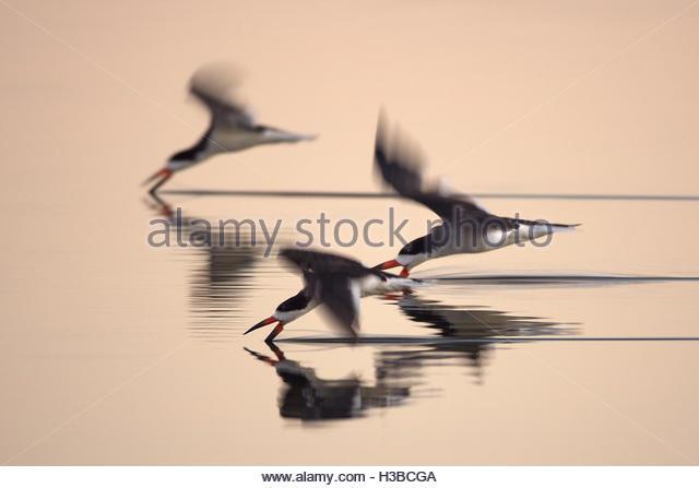 black skimmer birds flying over the water - Stock Image