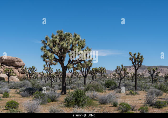Blue Sky Day Over Joshua Tree and Boulders in Spring - Stock Image