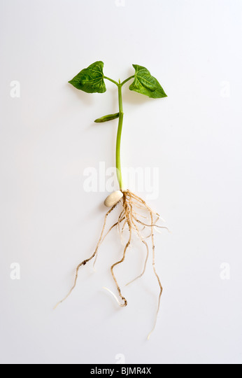 Phaseolus vulgaris, french bean sprout seedling showing legume seed; shoots; roots and leaves against white background - Stock Image