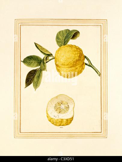 Lemon on stem. Italy, 18th century - Stock-Bilder