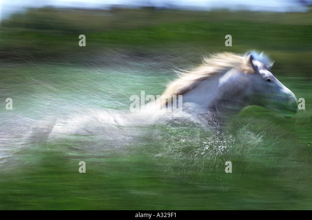 Camargue horse running through water France - Stock Image