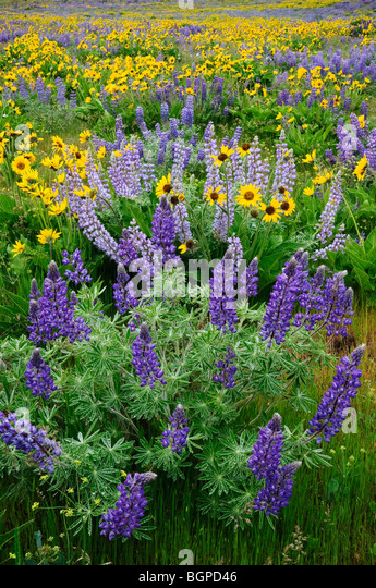 Lupine and Balsamroot, Dalles Mountain Road, Columbia River Gorge National Scenic Area, Washington. - Stock Image