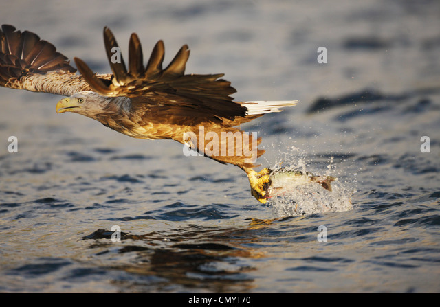 White-tailed eagle taking fish from water surface, Norway - Stock Image