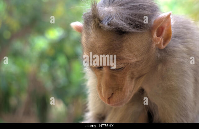 Indian macaques lat. Macaca radiata. wild animal primates in a tropical forest. One monkey close portrait on a tree - Stock-Bilder