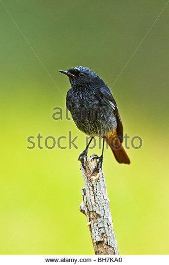 MALE BLACK REDSTART (Phoenicurus ochruros) - Stock Image