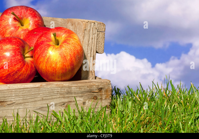 Still life photo of freshly picked red apples in a wooden crate on grass against a blue cloudy sky. - Stock Image