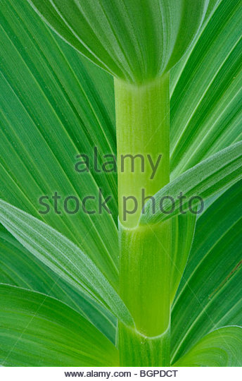 Corn Lily or False Hellebore; Cascade Mountains, Washington. - Stock Image