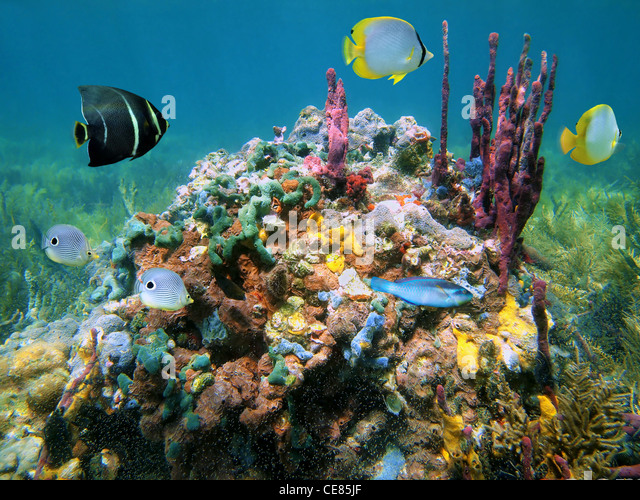 Colorful marine life with sea sponges and tropical fish underwater sea, Caribbean - Stock Image