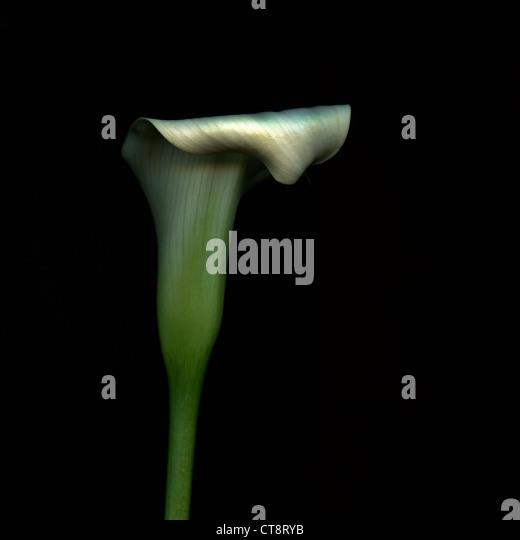 Zantedeschia, Lily, Arum lily, Calla lily - Stock Image