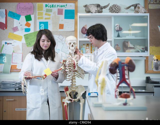 Biology students studying skeleton - Stock Image