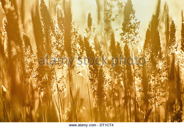 Monterey Bay California USA Meadow grasses in summer Monterey Bay - Stock Image