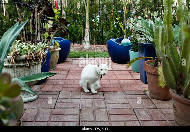 Sitting white cat on brick patio surrounded by potted plants in backyard of home - Stock Image
