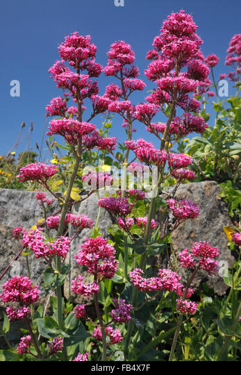 Red Valerian (Centranthus ruber) - Stock Image