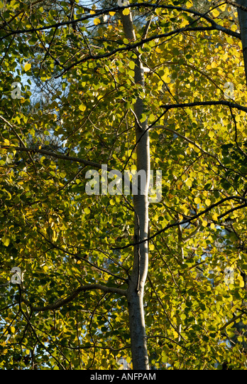 Young Poplar tree - Populus, sud Touraine, France. - Stock Image