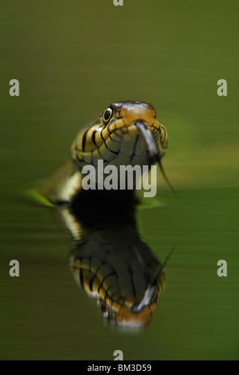 Grass Snake (Natrix natrix) hunting in water, Netherlands. - Stock Image
