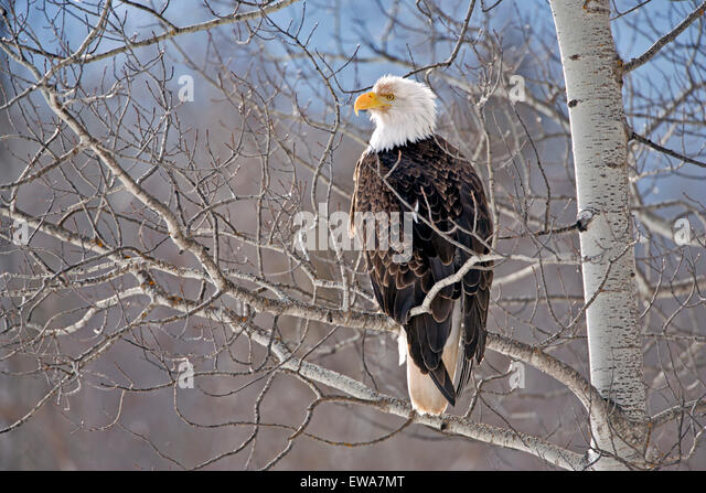 Bald Eagle perched in Poplar Tree - Stock Image