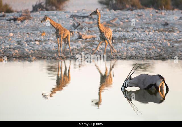 Giraffe and Oryx at a waterhole - Stock Image