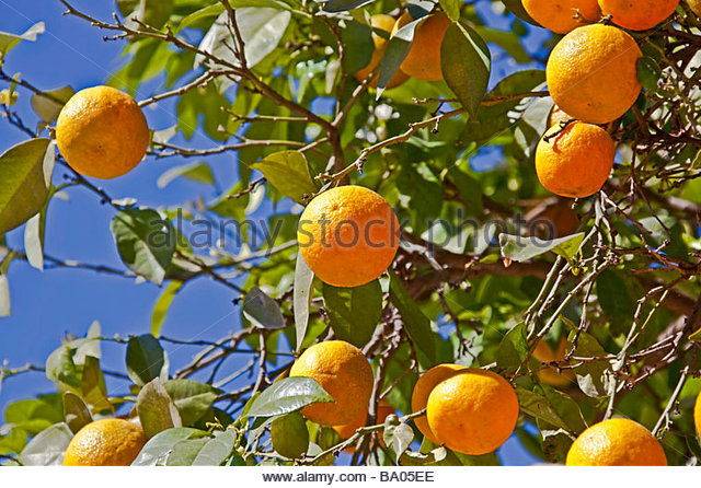 close-up of ripe oranges on a tree - Stock Image