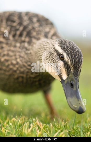 Female mallard Anas platyrhynchos New Zealand - Stock Image