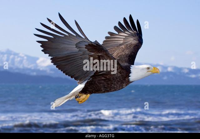Bald Eagle in mid air flight over Homer Spit Kenai Peninsula Alaska Winter Kachemak Bay - Stock-Bilder